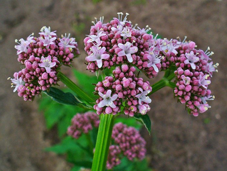 Valeriana officinalis. By H. Zell (Own work) [GFDL or CC BY-SA 3.0], via Wikimedia Commons
