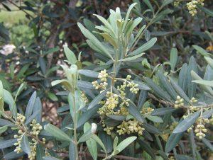 Olive leaves. Sputnikcccp at the English language Wikipedia [GFDL or CC-BY-SA-3.0], via Wikimedia Commons