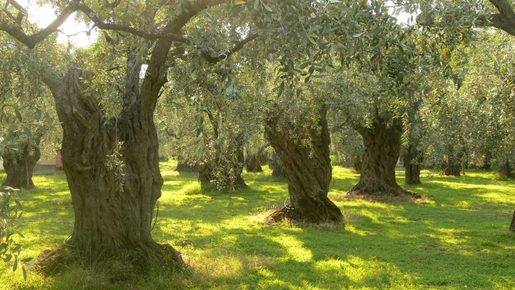 Olive trees in Greece. Sputnikcccp at the English language Wikipedia [GFDL or CC-BY-SA-3.0], via Wikimedia Commons