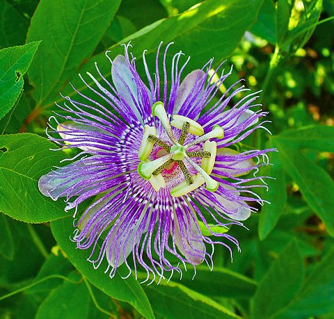 Passionflower As A Nootropic Supplements In Review