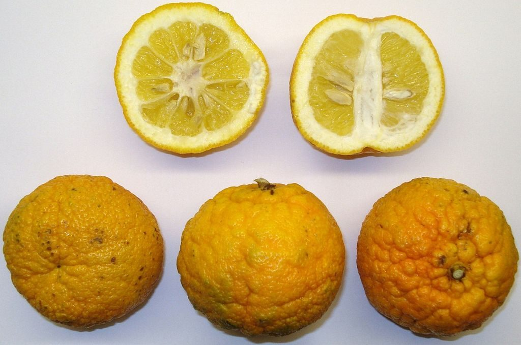 Bitter orange fruit.