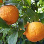 Bitter Orange for Fat Loss