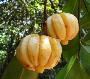 garcinia cambogia fruit.