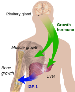 growth-hormone-effects-and-function