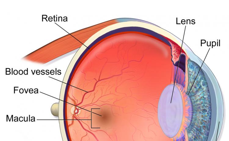 macula-retina