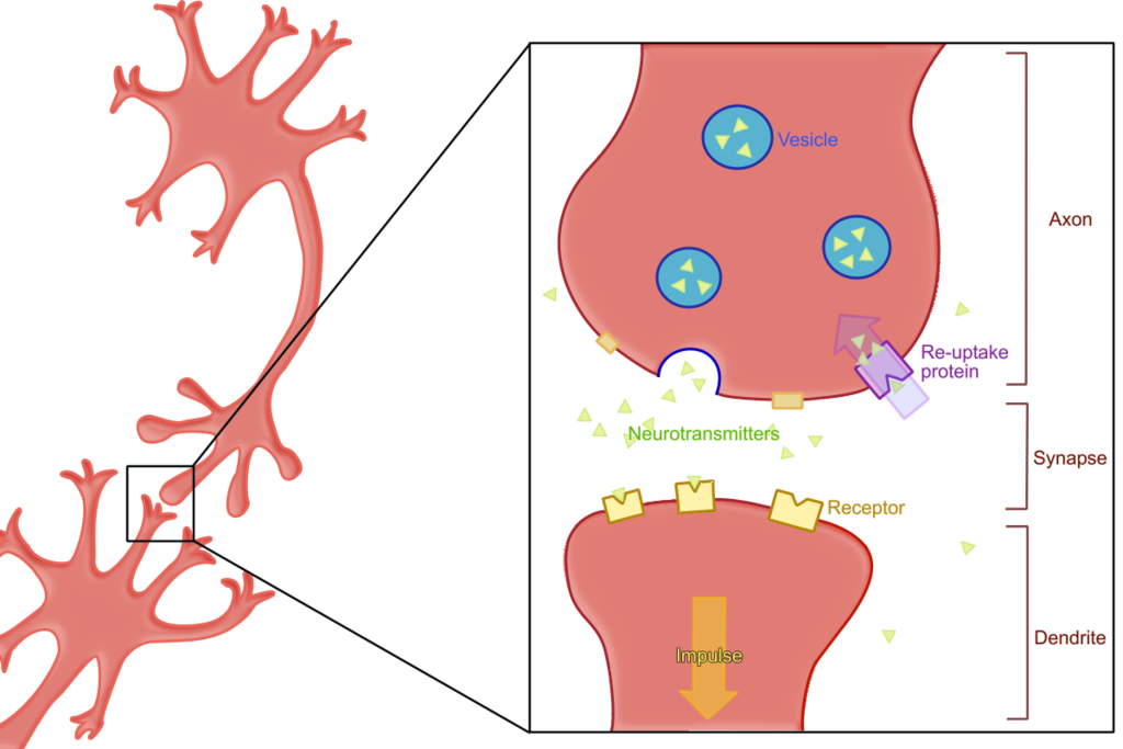 Like all neurotransmitters, acetylcholine is central to the communication between neurons.