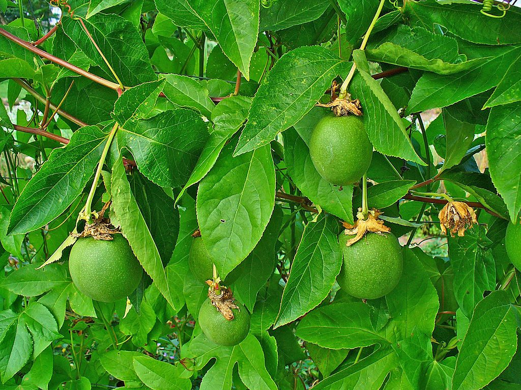 Like most passionflower species, Passiflora incarnata has edible fruit.