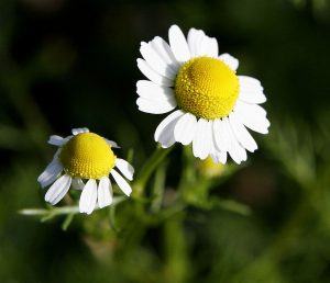Chamomile. fir0002 | flagstaffotos.com.au [GFDL 1.2], via Wikimedia Commons