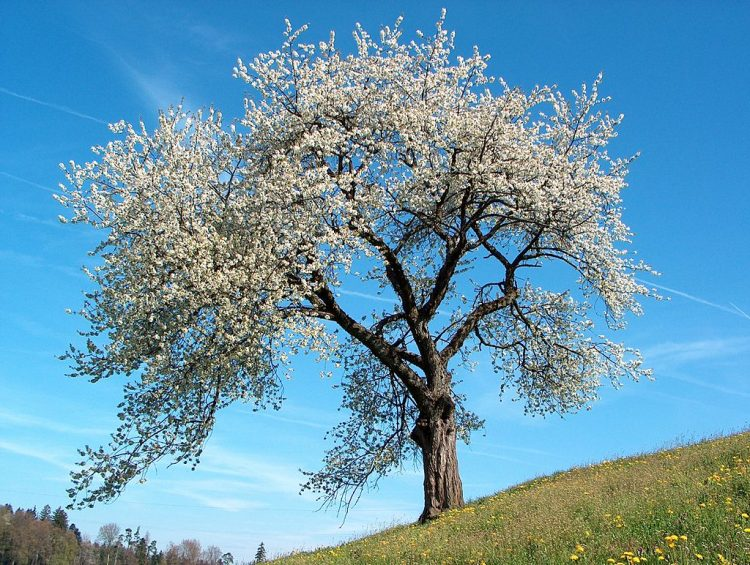 Tart cherry tree. By Benjamin Gimmel, BenHur (Own work) [GFDL or CC-BY-SA-3.0], via Wikimedia Commons