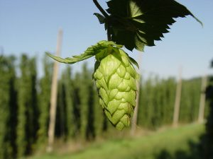 Hops are the flowers, or seed cones, of the hop plant. By No machine-readable author provided. LuckyStarr assumed (based on copyright claims). [GFDL, CC-BY-SA-3.0 or CC BY 2.5], via Wikimedia Commons