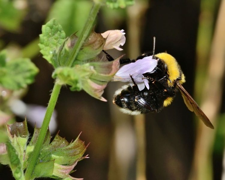 A bee foraging nectar on a lemon balm plant in Mount Hermon. By Gideon Pisanty (Gidip) גדעון פיזנטי (Own work) [CC BY 3.0], via Wikimedia Commons