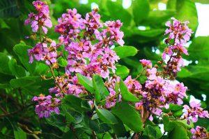 lagerstroemia_speciosa-banaba-leaf