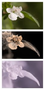 Lemon Balm flower in visible light (top), ultraviolet (middle), and infrared (bottom). By Dave Kennard (Own work) [CC BY 3.0], via Wikimedia Commons