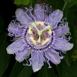 Passionflower for Stress