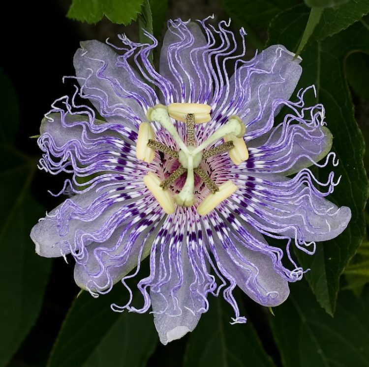 Passionflower For Sleep Supplements In Review