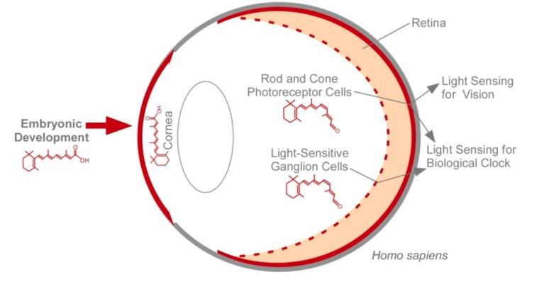 Vitamin A empowers the human eye to sense light.