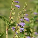 Skullcap for Sleep