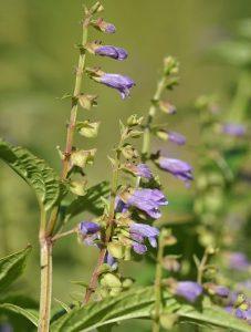 scutellaria-lateriflora-blue-american-sku-llcap
