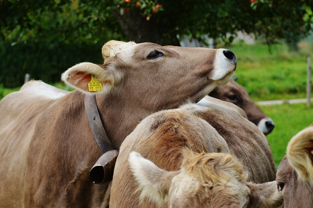 CLA is naturally produced in the gut of ruminant amimals such as lows.