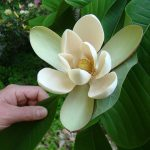 Magnolia Officinalis for Stress