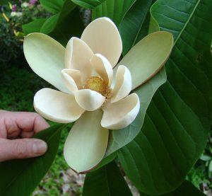 magnolia-flowers