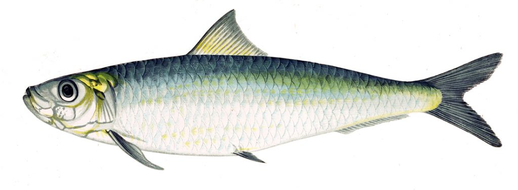 Sardines and some other fish species are good dietary sources of DMAE.