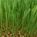 Wheat Grass as Greens