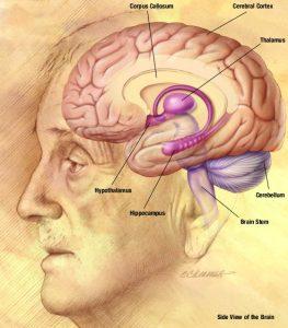 NIA_human_brain_drawing