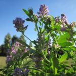 Alfalfa as Greens