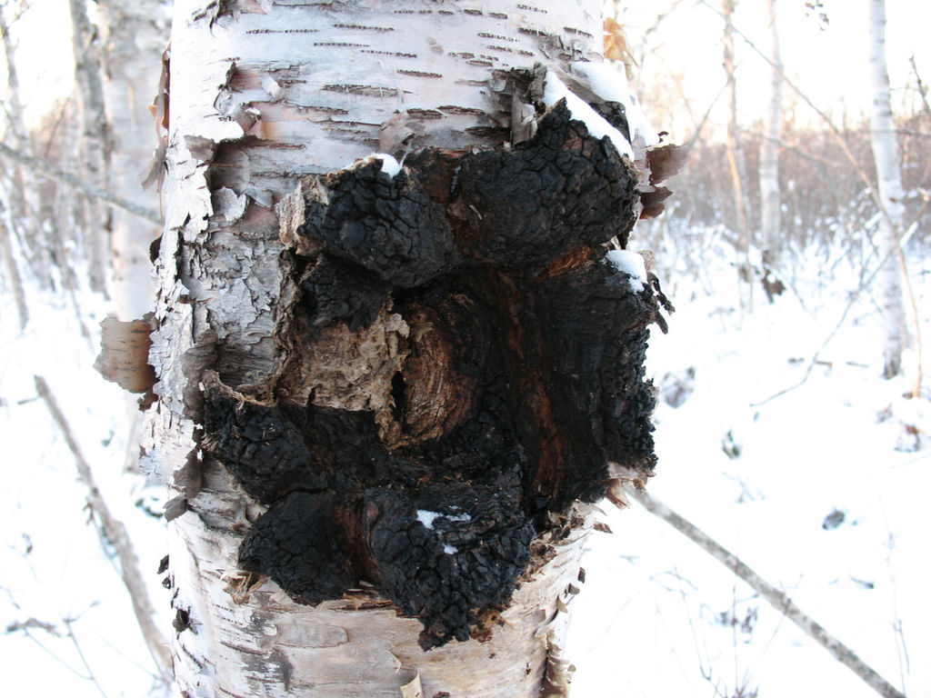 Chaga For Stress Supplements In Review