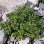Rhodiola Rosea as a Pre-Workout