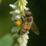 Bee Pollen for Energy