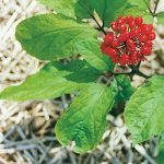 Panax Ginseng as a Nootropic