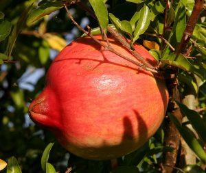 1024px-Pomegranate_fruit