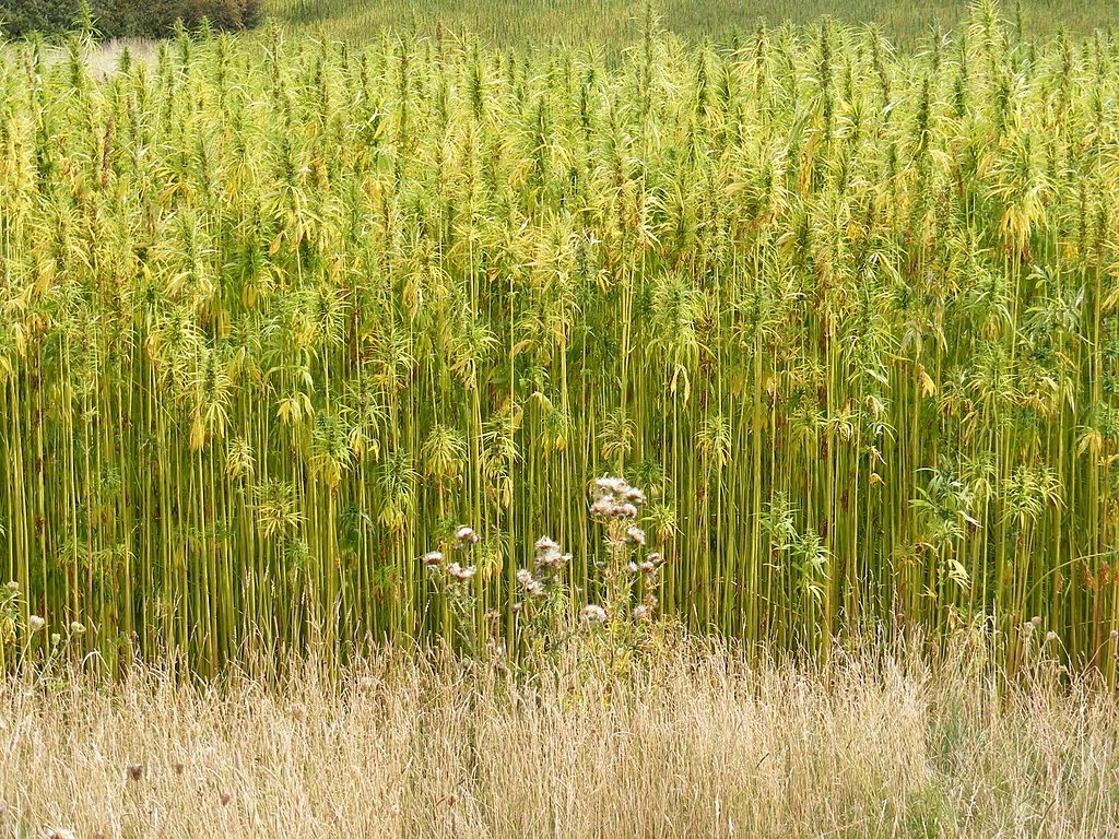 1024px-Hemp_Crop_in_Peasenhall_Road,_Walpole_-_geograph