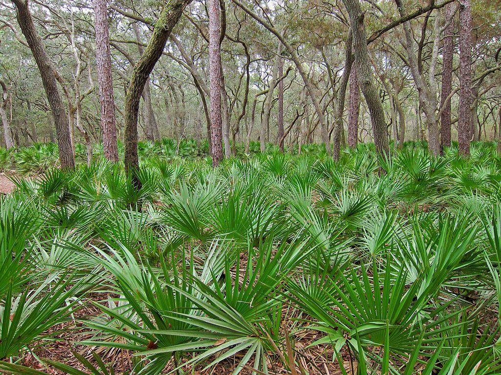 1024px-Saw_palmetto_(Serenoa_repens)_in_Manatee_Springs_State_Park