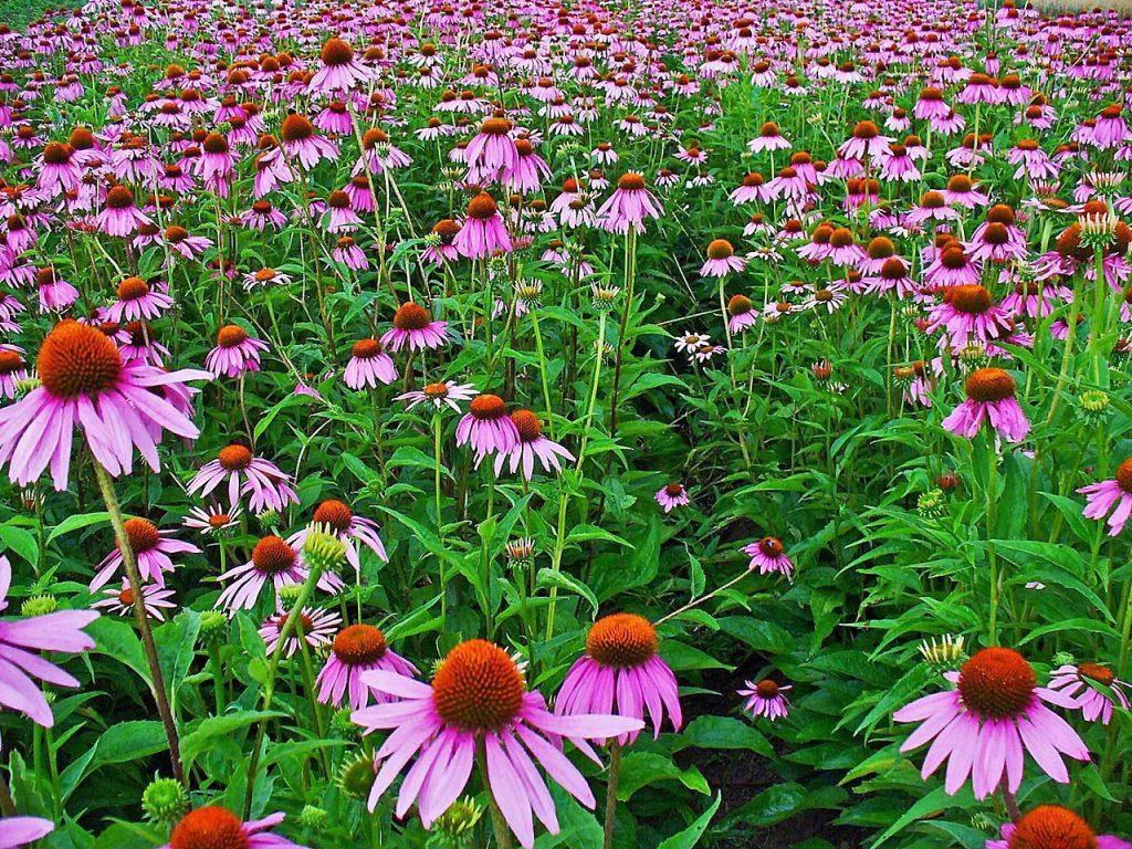 Echinacea_purpurea field