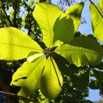 Magnolia Officinalis for Sleep