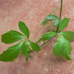 Gynostemma Pentaphyllum for Fat Loss