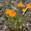 California Poppy for Stress