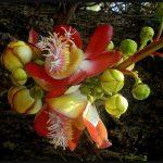 Bryonia Laciniosa for Testosterone