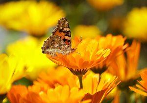 marigold flower yellow orange lutein