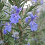 Rosemary as a Nootropic
