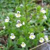 eyebright flowers