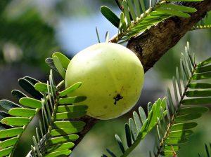indian gooseberry amla