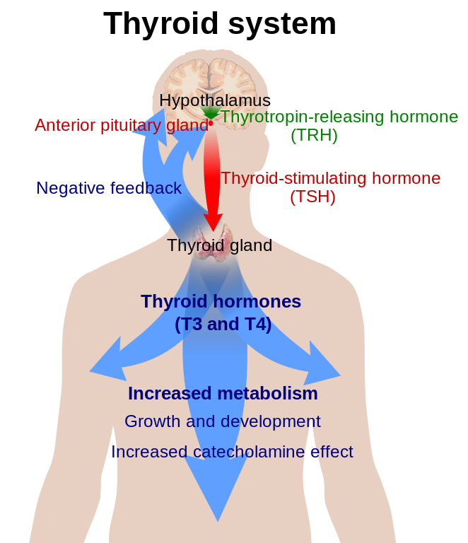 Thyroid supplements guide illustration of thyroid functions in the body