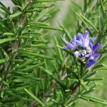 Rosemary for Thyroid Health