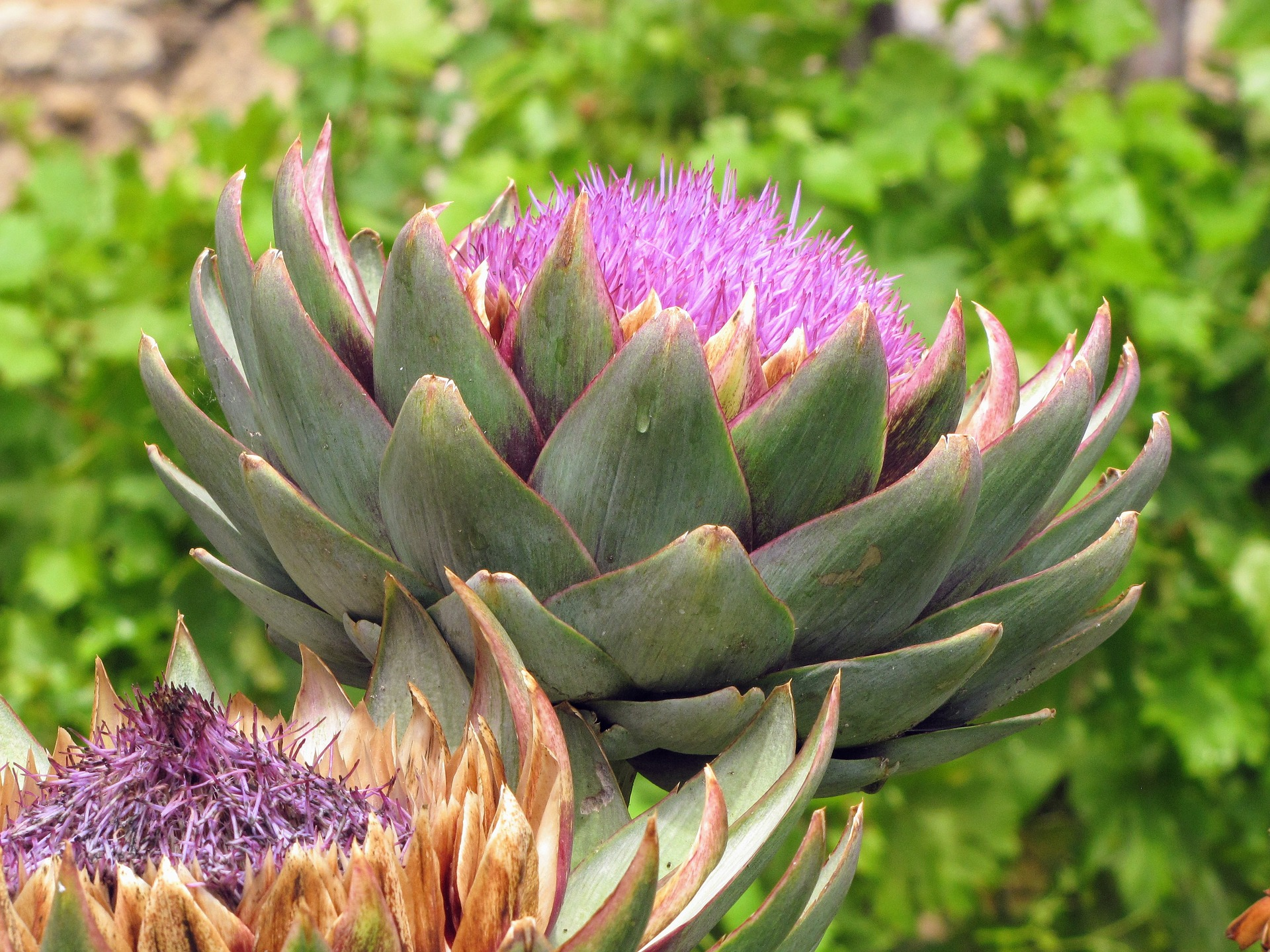 Artichoke For Liver Health Supplements In Review