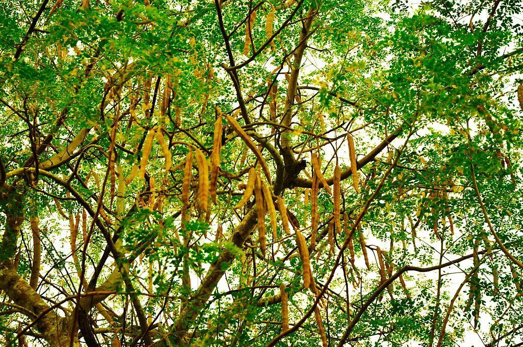 moringa oleifera seed pods fruit tree