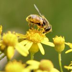 Flower Pollen for Prostate Health